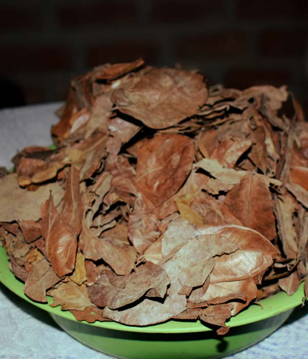 Conociendo la hoja de guanábana, bebida matutina de Talara